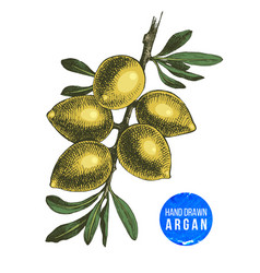 hand drawn argan nuts branch vector image