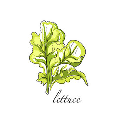 Lettuce fresh culinary plant green seasoning vector