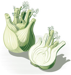 Fennel whole and one cut in half vector