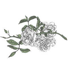 hand-drawn rose in sketch style vector image