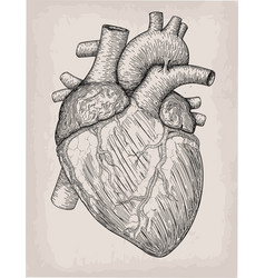 human heart hand drawn anatomical sketch vector image