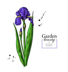 Iris flower and leaves drawing hand drawn vector