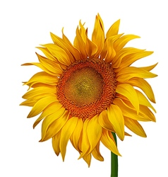 Beautiful sunflower vector
