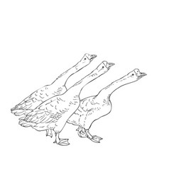 Drawing three angry chinese geese sketch hand vector