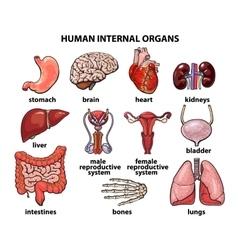The internal organs of man set vector