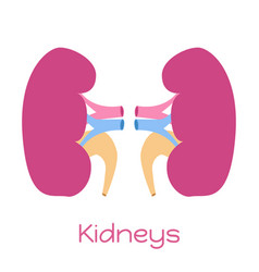 kidneys in flat style viscera icon internal organ vector image