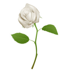 A beautiful white rose vector