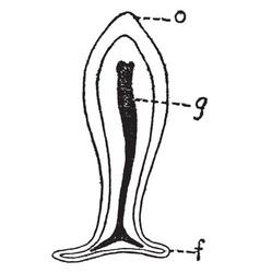 Mature hydroid planula vintage vector
