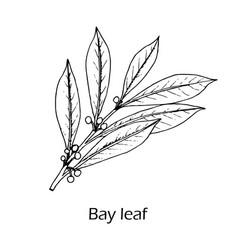 Medicinal and kitchen plant laurel vector