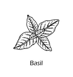 Basil or sweet basil culinary and aromatic herb vector