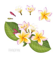 Frangipani plumeria flower with green leaves vector