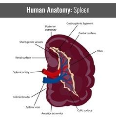 Human Spleen detailed anatomy Medical vector image