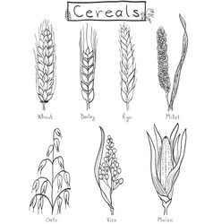 Cereals hand-drawn vector image