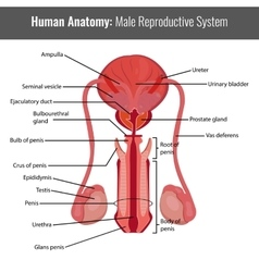 Male reproductive system detailed anatomy vector