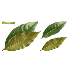 Bay leaf 3d realistic vector