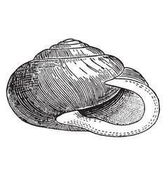 Helix albolabris vintage vector