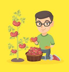 Little caucasian farmer boy harvesting tomatoes vector