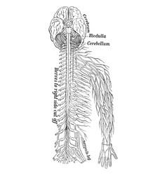 nervous system vintage vector image