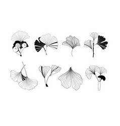 a set ginkgo plant icons on white vector image