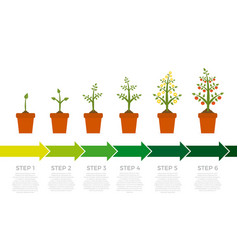 Infographic of plant growth stages tree vector