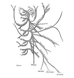 Cervical plexus spinal nerves vintage vector