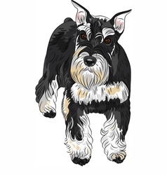 dog breed Miniature Schnauzer black and silver vector image