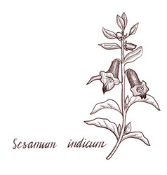 Drawing sesame plant vector
