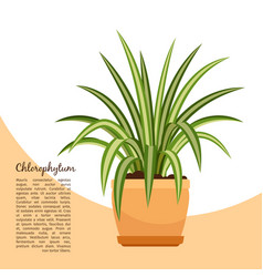 chlorofitum plant in pot banner vector image