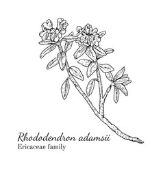 ink rhododendron adamsii hand drawn sketch vector image