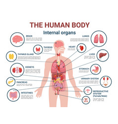 human body internal organs and parts info poster vector image