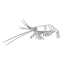 Shore shrimp vintage vector