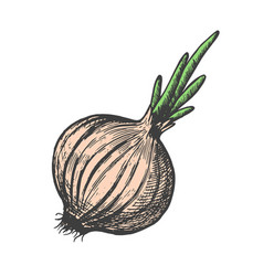 hand drawn of onion sketch style doodle vegetable vector image