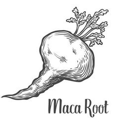 Maca Root Plant vector image