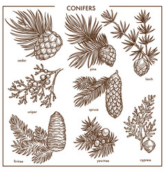 Natural conifers small branches isolated vector