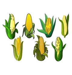 Isolated weet corn cobs vegetables vector image