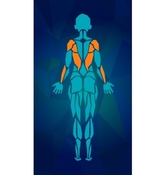 Polygonal anatomy of female muscular system Women vector