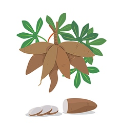 Cassava vector
