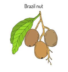 brazil nut bertholletia excelsa vector image