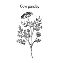 Cow parsley or wild chervil anthriscus sylvestris vector