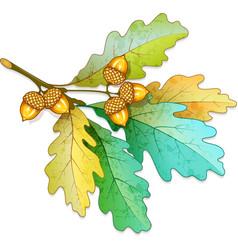 Oak tree branch with acorns vector image