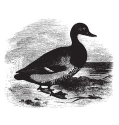 American scaup duck vintage vector