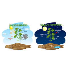 Diagram showing process photosynthesis and vector