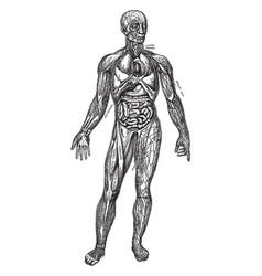 Principal organs of the thorax and abdomen vintage vector