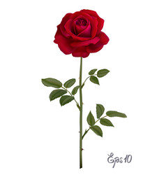 beautiful red rose isolated on white background vector image