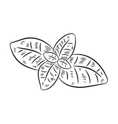 hand drawn sketch style basil vector image