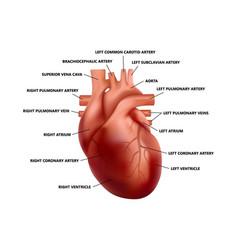 Realistic heart anatomy with descriptions diagram vector