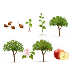 Apple life cycle set vector