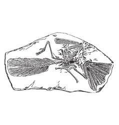 Archaeopteryx vintage vector