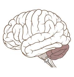 Coloured cerebellum of human brain anatomy side vector
