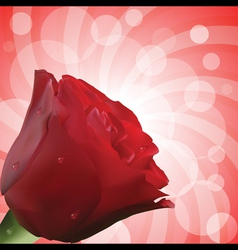 red rose with droplets and circular background vector image